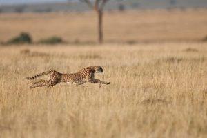 Cheetah optimising his speed.